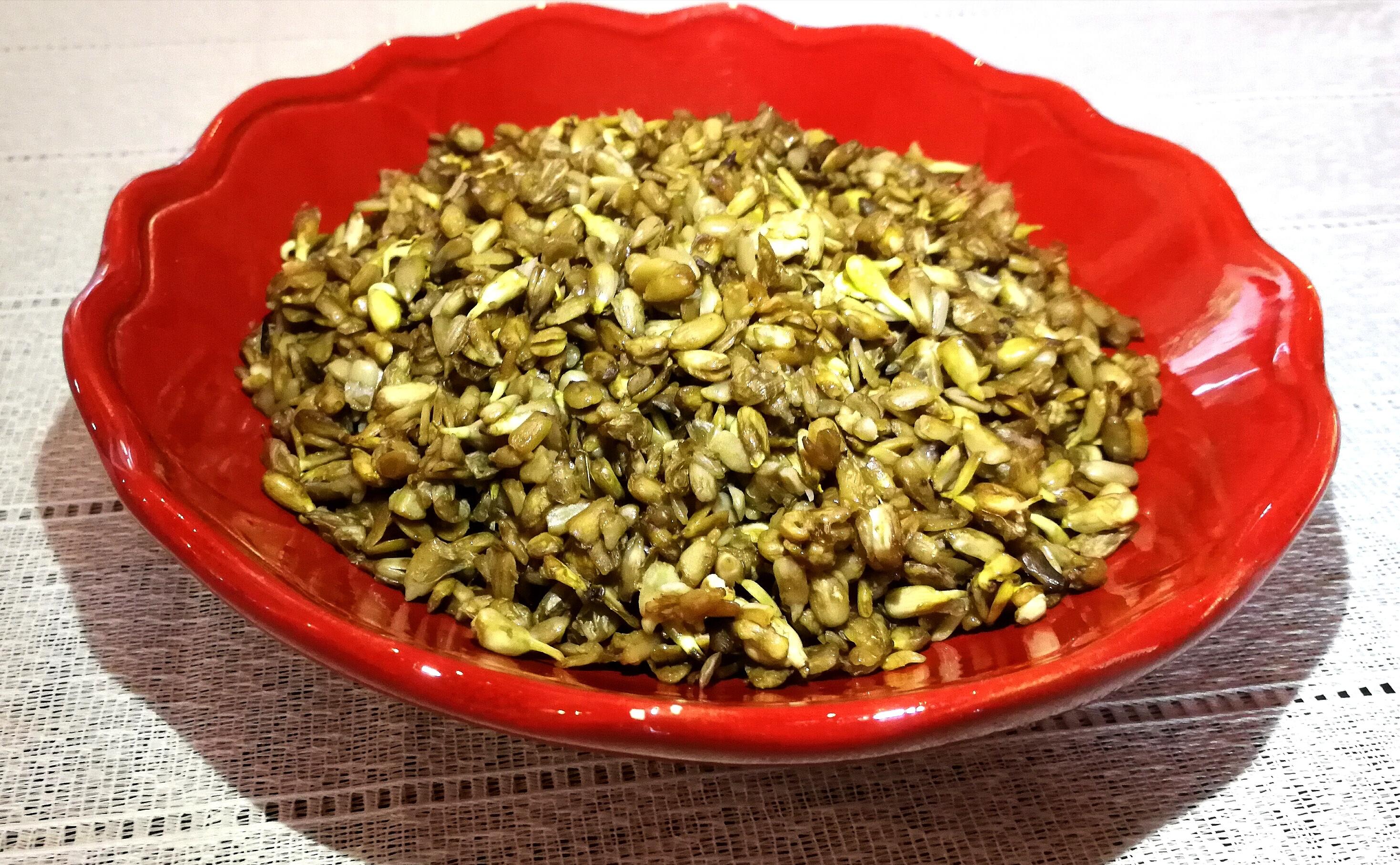 graines germées tournesol
